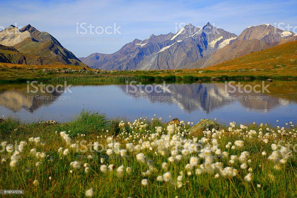 Lake mirrored, swiss alps reflection, cotton wildflowers Field, Zermatt stock photo