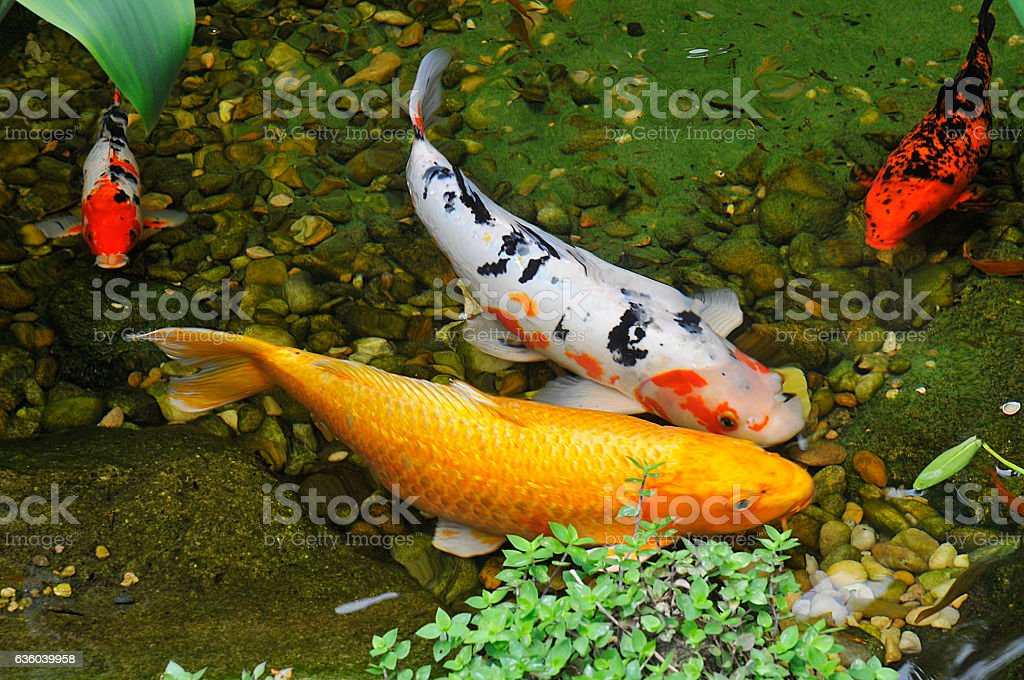 Lake of carps stock photo