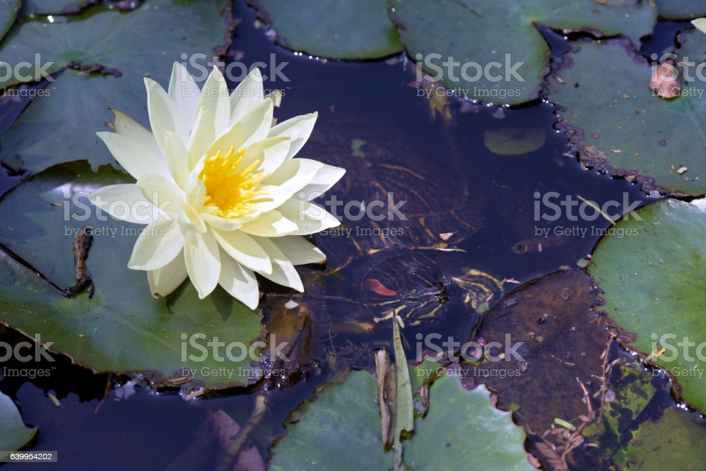 Lake of yellow waterlily in bloom stock photo