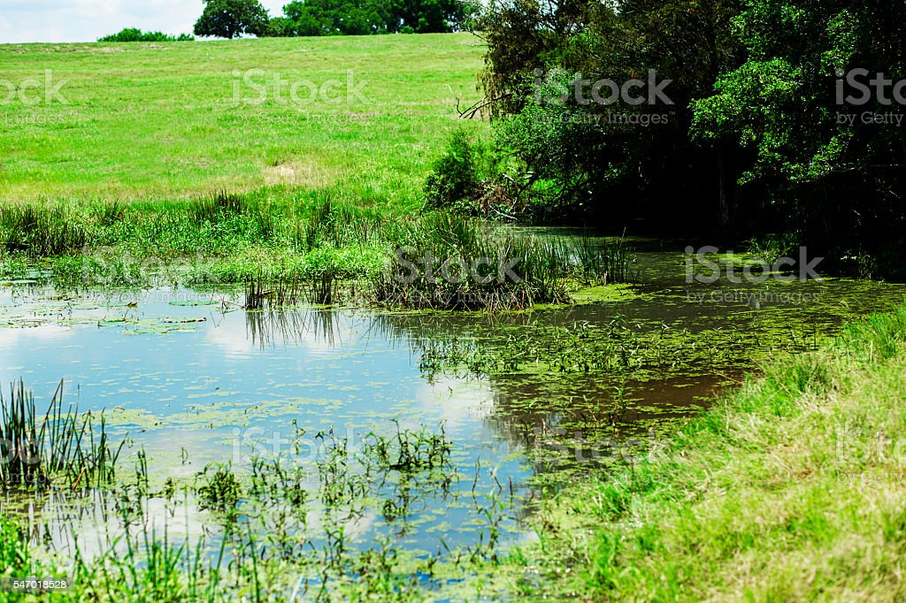 Lake or pond with reeds and lily pads. Trees, meadow. stock photo