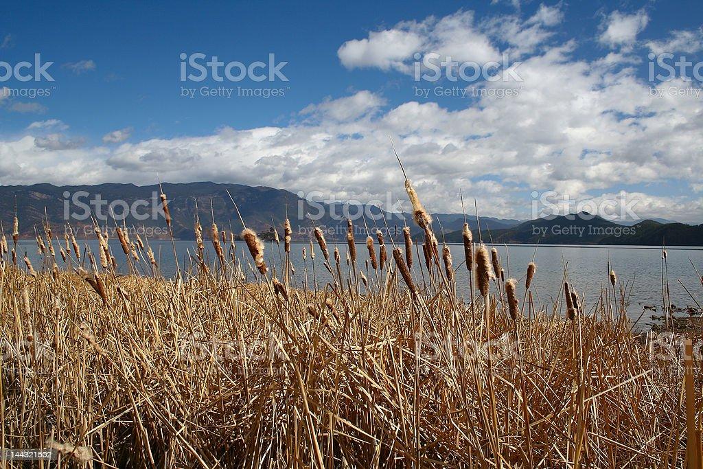 lake or Reed royalty-free stock photo
