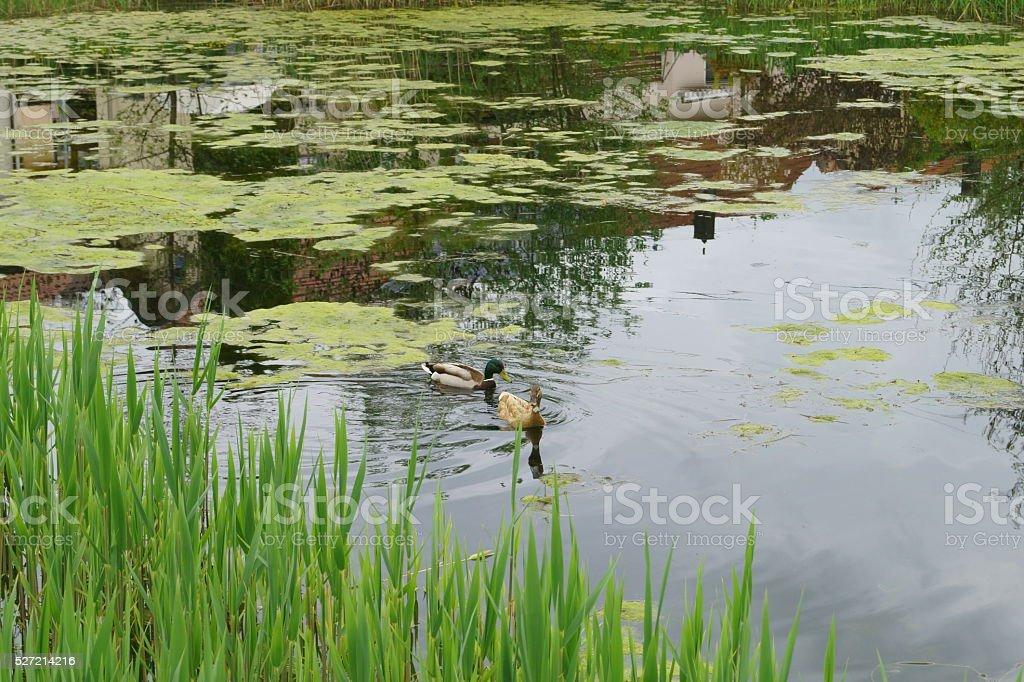 Lake ,Spirogyra,Duck stock photo