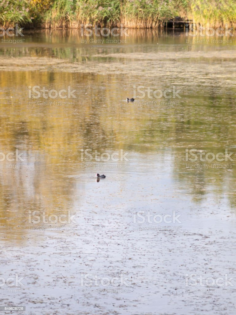 lake surface scene with two coots swimming stock photo