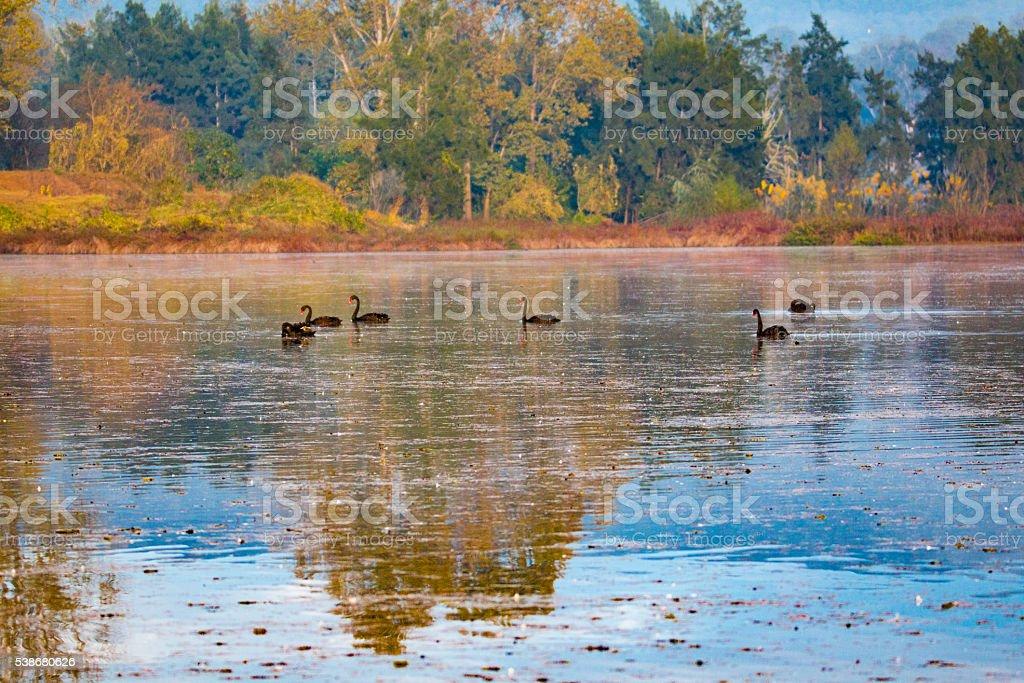Lake Swans stock photo