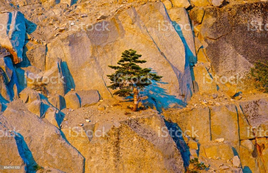 Lake Tahoe Tree stock photo