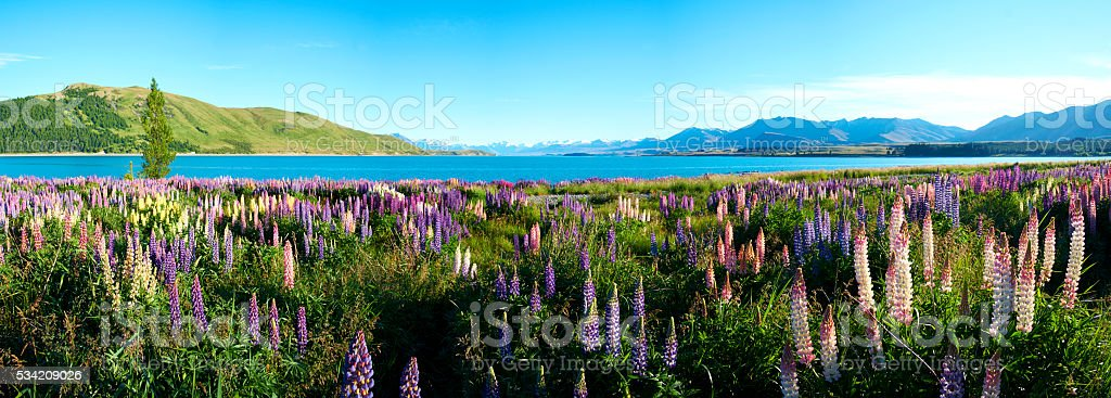 Lake Tekapo Lupins Panorama stock photo