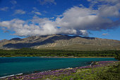 Lake Tekapo with Wild Lupines in New Zealand