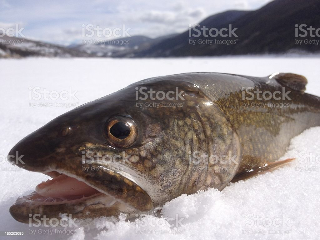 Lake Trout On Ice stock photo
