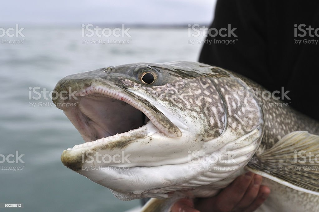 Lake Trout Up Close royalty-free stock photo