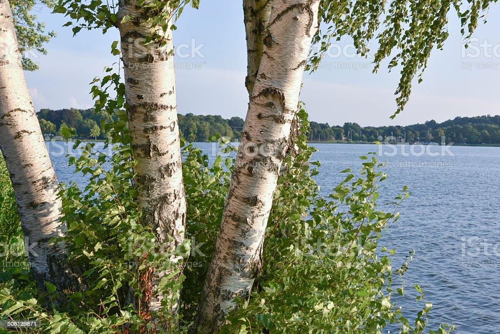 Birch y vista al lago foto de stock libre de derechos