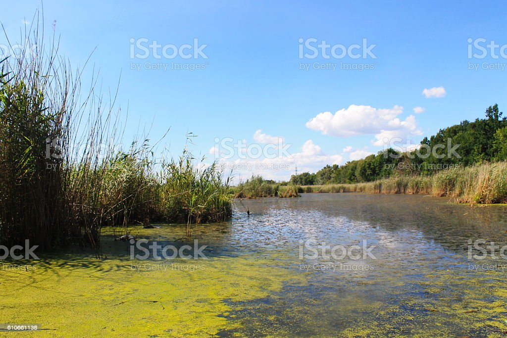 Lake with green algae and duckweed on the water surface stock photo