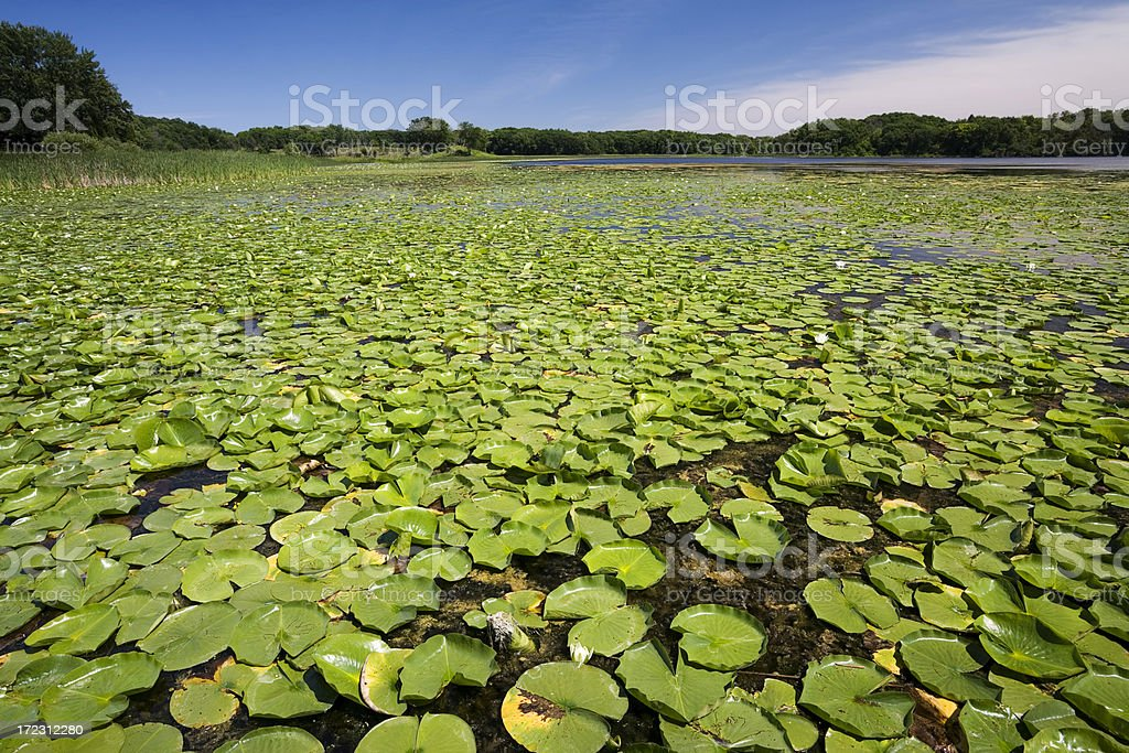Lake with Lillies stock photo