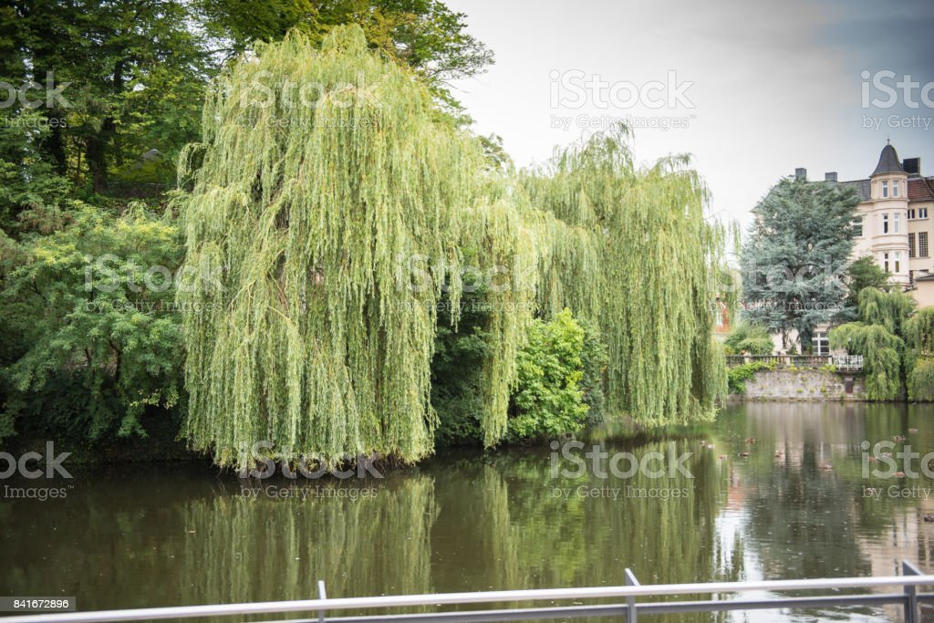 Lake with weeping willows in the castle in the city of Detmold stock photo