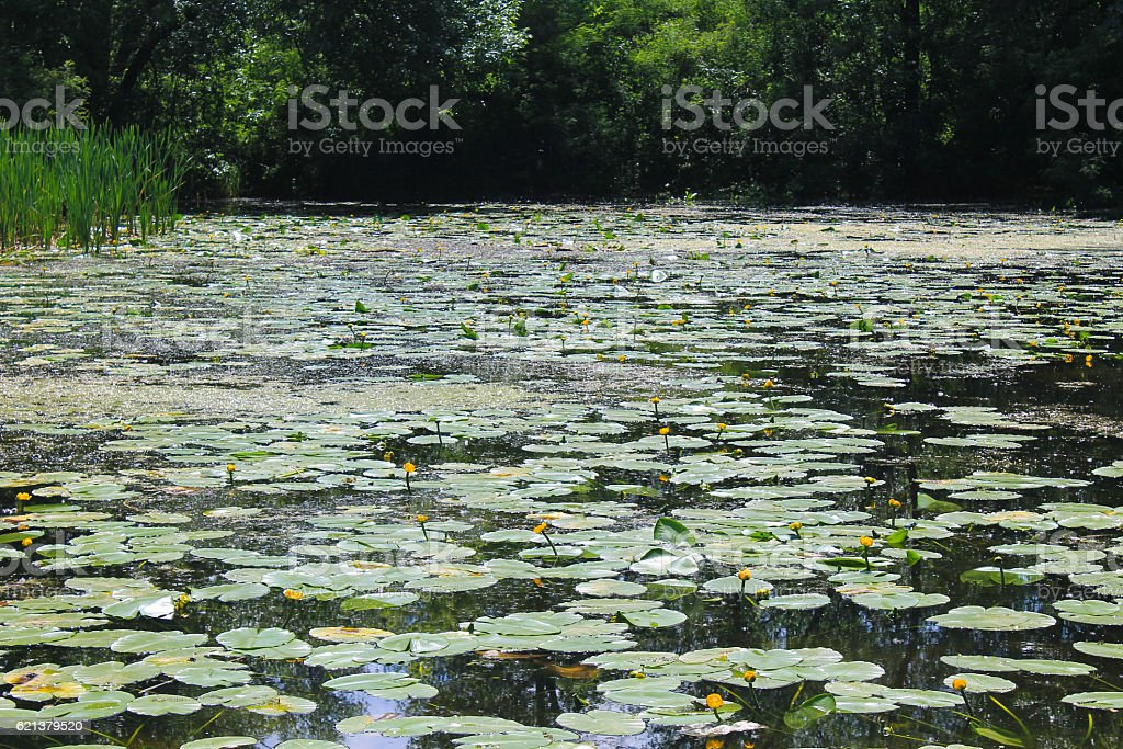 Lake with yellow water flowers stock photo