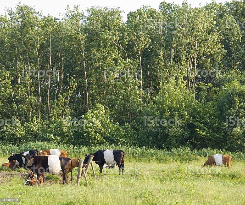Lakenvelder Cows at Leusden stock photo