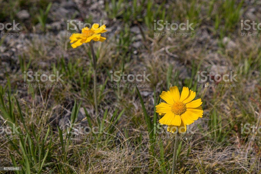 Lakeside Daisy stock photo