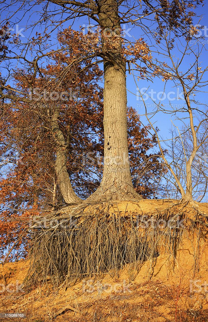 lakeside scene - exposed roots stock photo