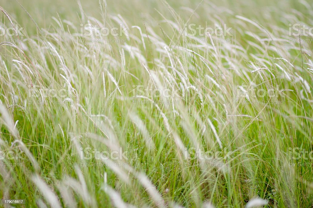 Lalang (Imperata cylindrica) Grass stock photo