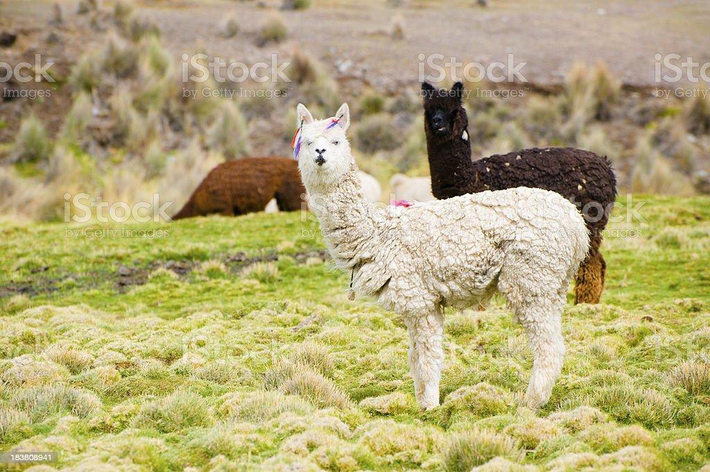 Lama Grazing in the Bolivian Altipiano stock photo