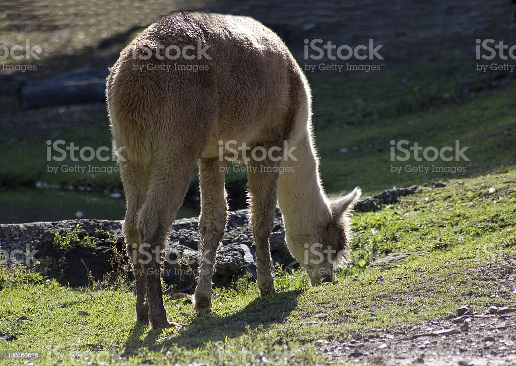 Lama grazing royalty-free stock photo