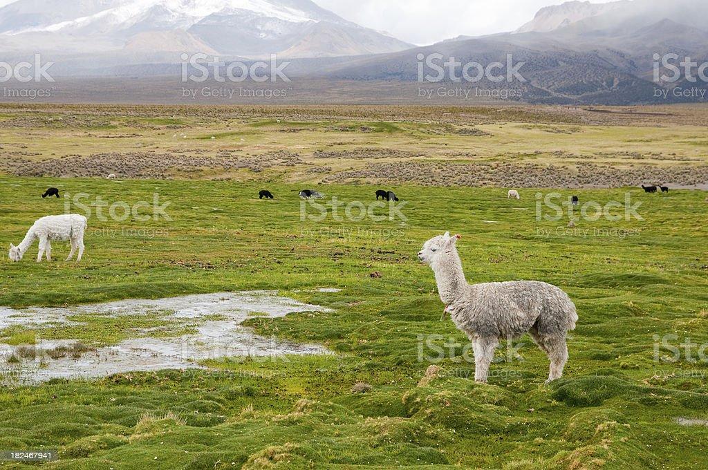 Lama in beautiful sud american panorama stock photo