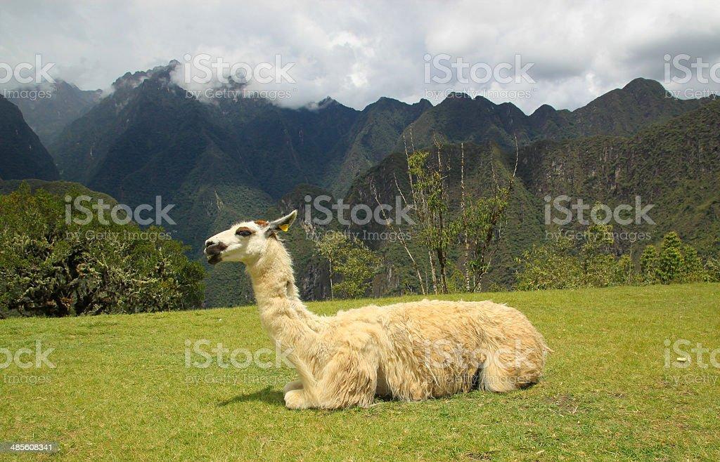 Lama in Macchu Picchu, Peru, South America stock photo