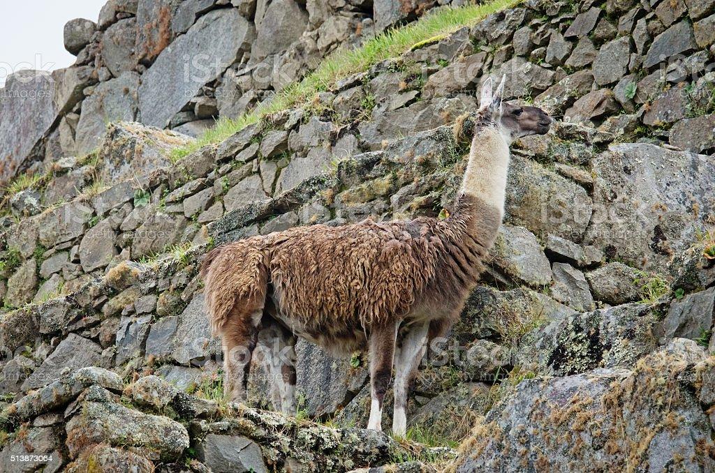 Lama in Machu Picchu in Peru stock photo
