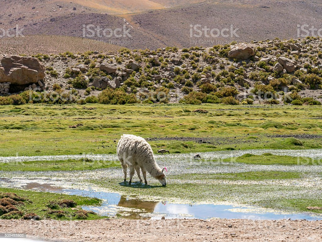 Lama in the Andes royalty-free stock photo