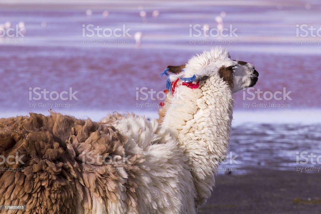 Lama on the Laguna Colorada, Bolivia royalty-free stock photo