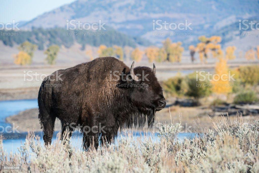Lamar Valley Bison stock photo