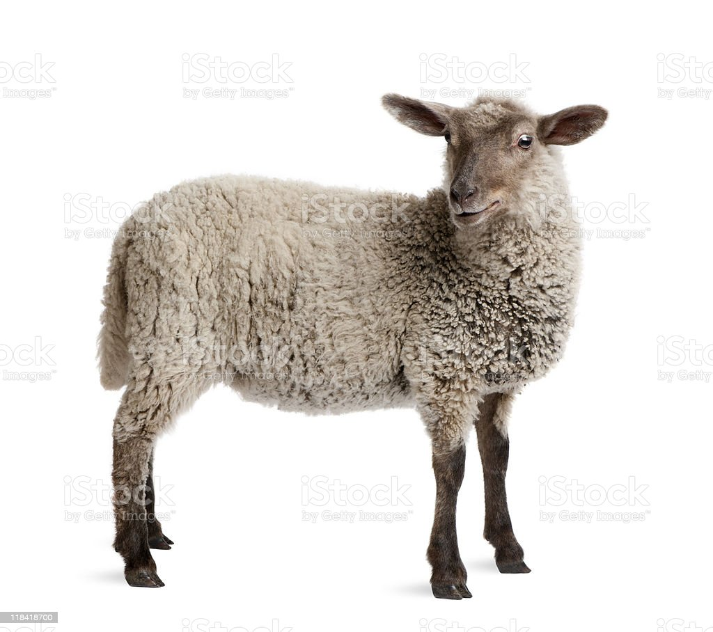 Lamb, 5 months old, standing in front of white background royalty-free stock photo