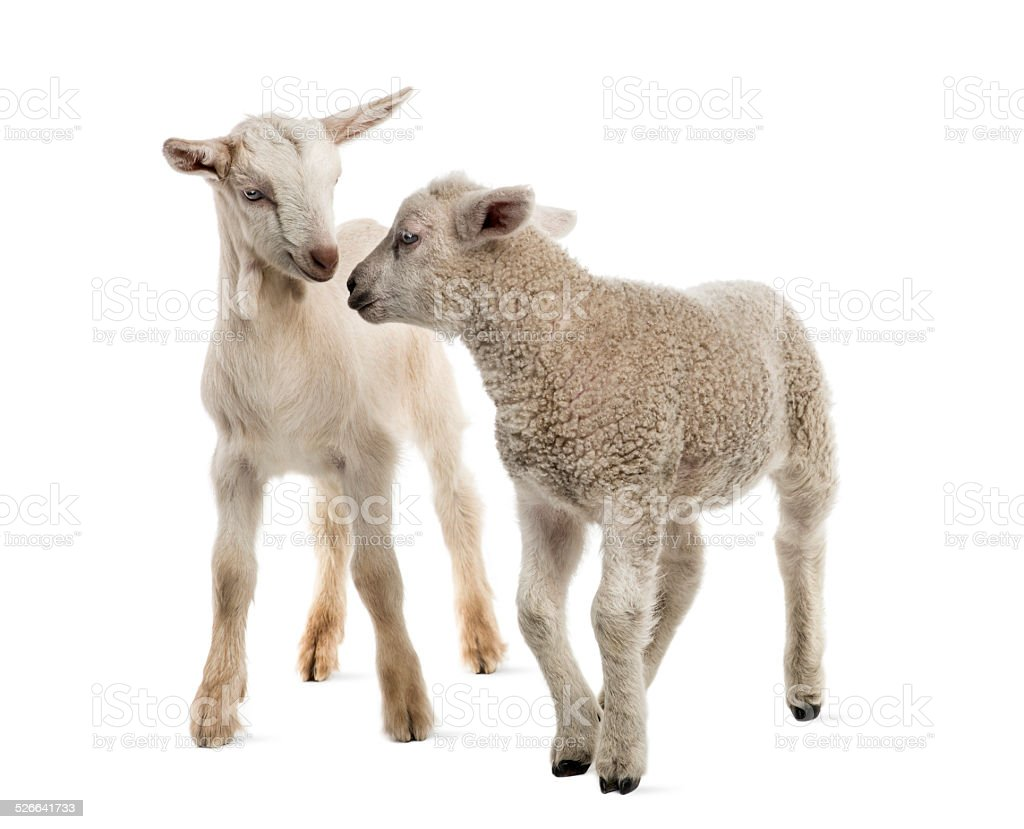 Lamb and goat kid (8 weeks old) isolated on white stock photo