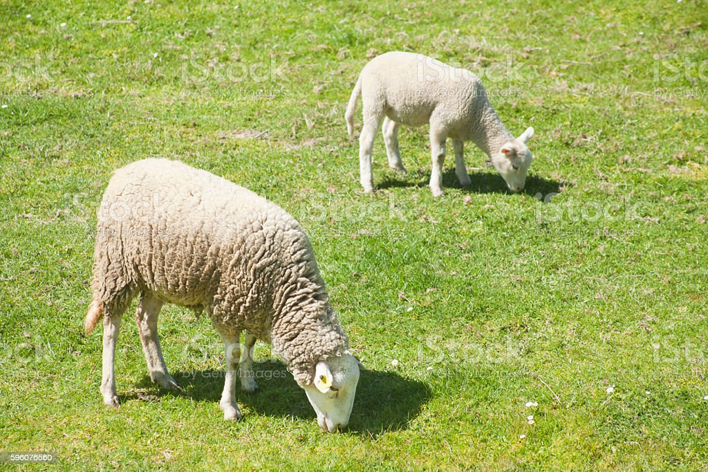 Lamb and sheep grazing on sunny green meadow. stock photo