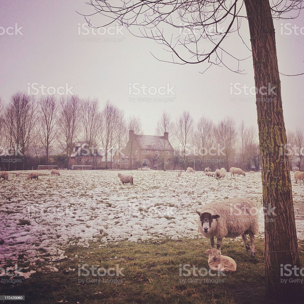 Lamb and Sheep in a field covered with snow. stock photo