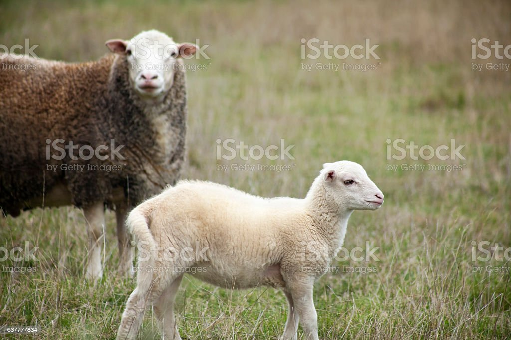 Lamb and sheep on green meadow stock photo