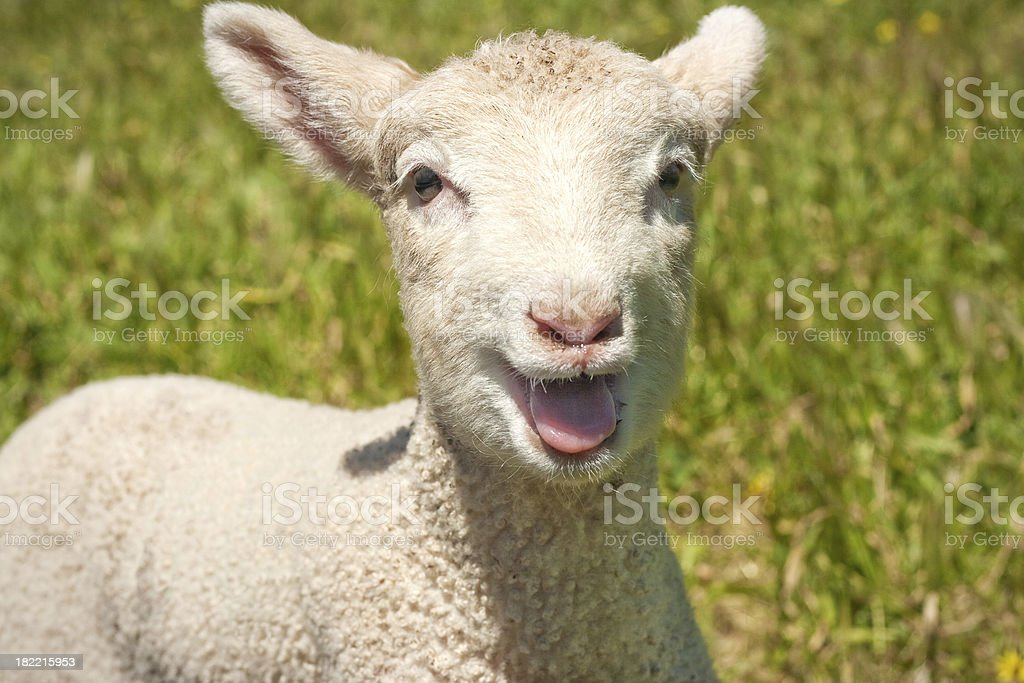 Lamb Bleating stock photo