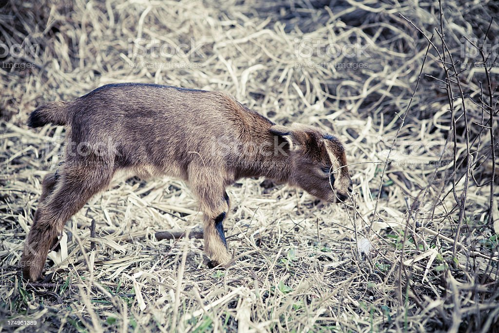 Lamb close-up royalty-free stock photo