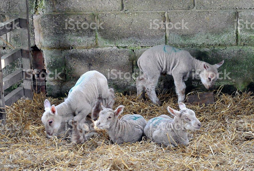 Lamb corner royalty-free stock photo