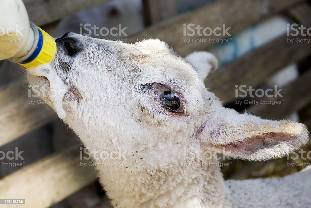 Lamb drinking Milk From a Bottle royalty-free stock photo