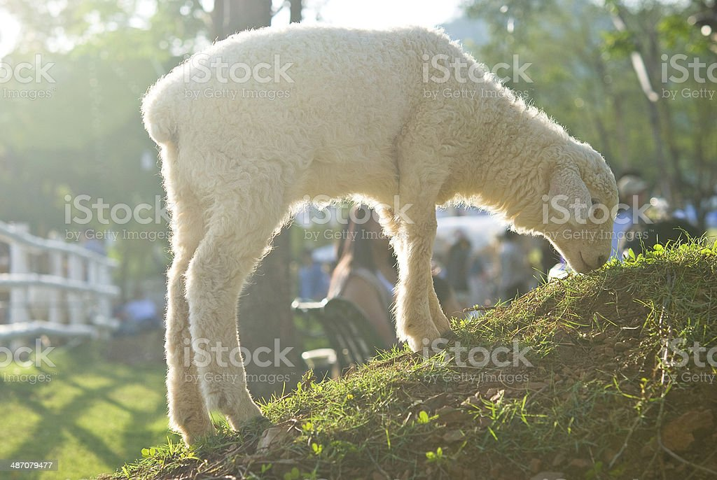 Lamb eating grass  on the field stock photo