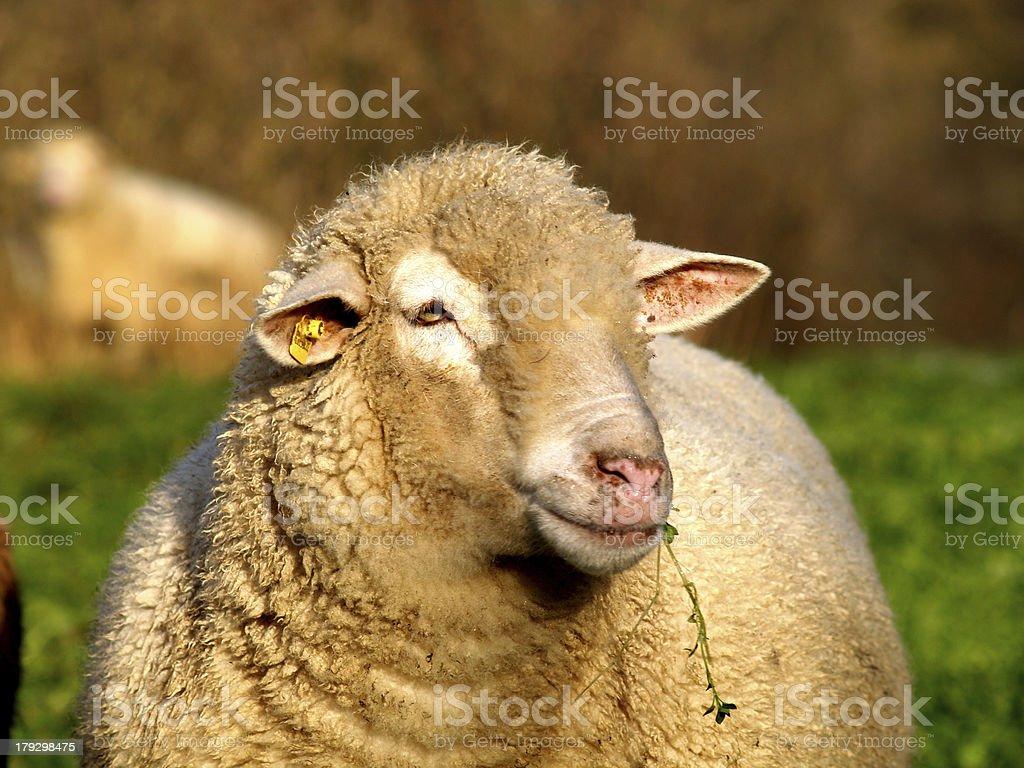 Lamb face stock photo
