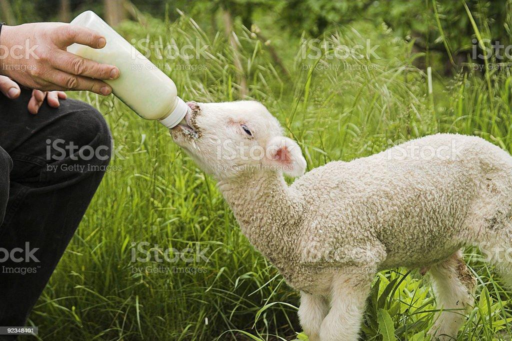 lamb feeding royalty-free stock photo