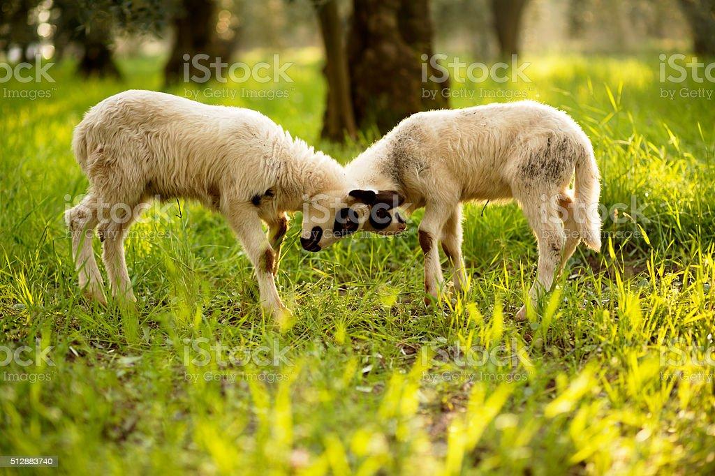 lamb, fight stock photo