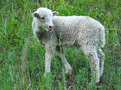 Lamb grazing (Ovis aries) in the meadow