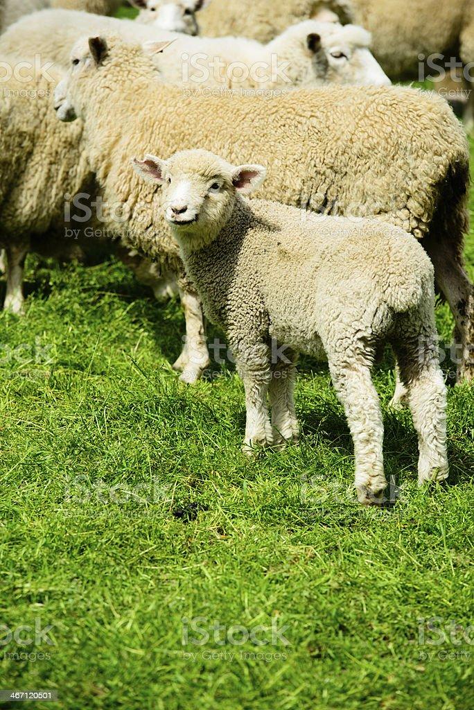 Lamb I am royalty-free stock photo