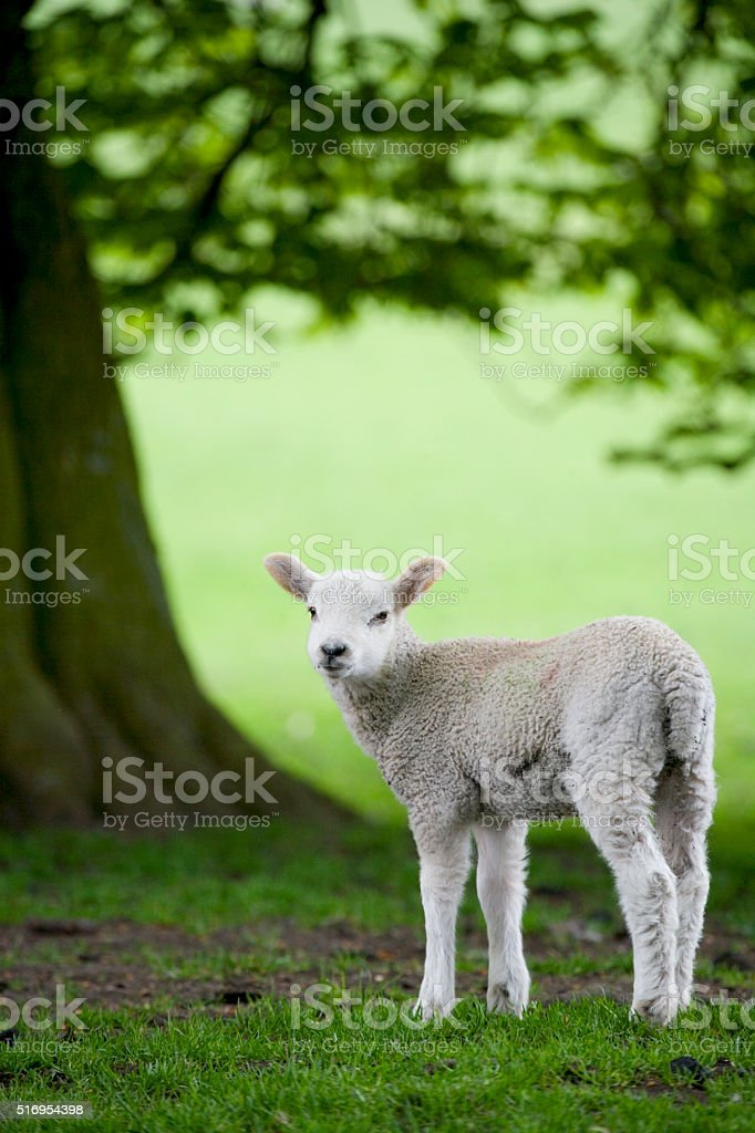 Lamb in a field in spring stock photo