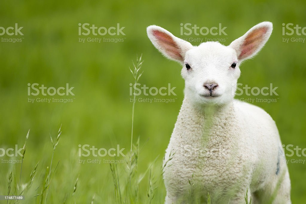 Lamb in a meadow royalty-free stock photo