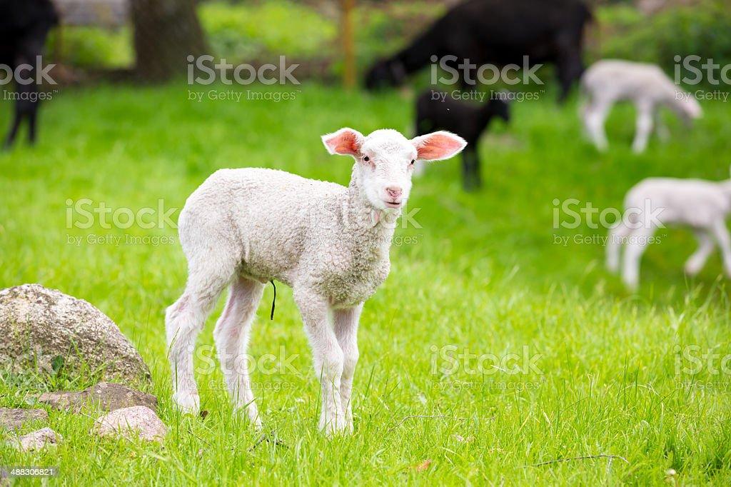 Lamb in Springtime stock photo