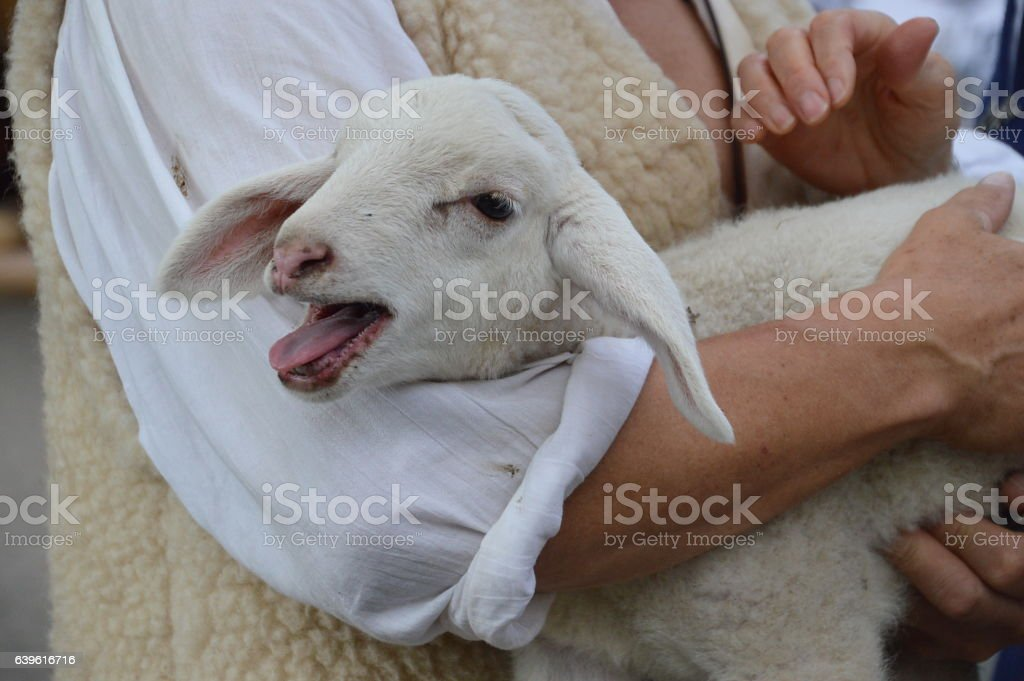 lamb in the arms of the good shepherd stock photo