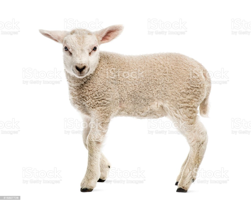 Lamb (8 weeks old) isolated on white stock photo